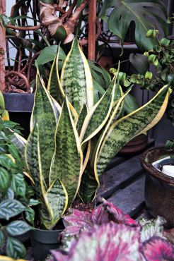 "Sansevieria — commonly called ""mother-in-law's tongue"" and ""snake plant"""