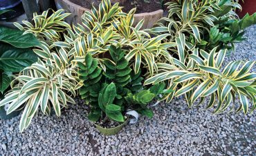 Dark green plant in front is Zamioculcas zamiifolia (ZZ Plant). Striped plant in background is a Tradescantia
