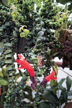 Aeschynanthus lobbianus (lipstick plant)