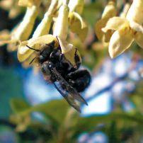 Orchard Mason Bees