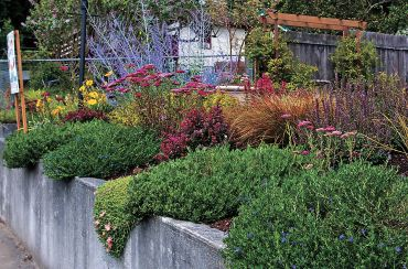 Lush plantings spill over the concrete retaining wall — dwarf barberry, Litthodora, hot pink yarrow and daylilies are just some of the beauties that enliven this sidewalk view of the Clarks' front yard. (Photo courtesy Colleen Miko)