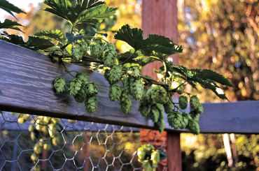 The wire walls of the chicken coop make great supports for twining and vining hops. (Photo courtesy Colleen Miko)