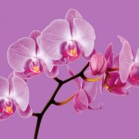 Pantone Color of the Year 2014 — Radiant Orchid