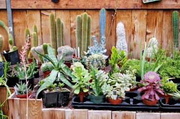 Fascinating cacti and succulents are easy-care houseplants and dramatic focal points.