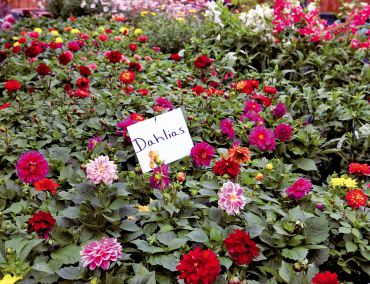 A rainbow of dahlias for stunning container plantings.