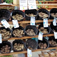 Seedling potatoes are available in spring.