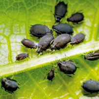 Get The Dirt — Bean Aphids