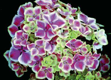 "Hydrangea macrophylla ""Harlequin"""