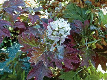 """Hydrangea quercifolia_H. aspera """"Villosa"""""""