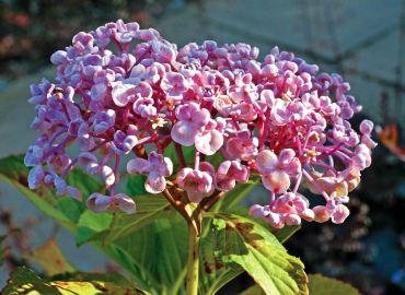 "Hydrangea macrophylla ""Ayesha"""
