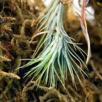 Tillandsias (Air Plants)