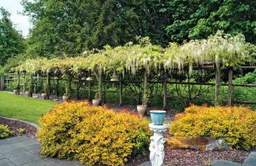 Wysteria with Spirea in foreground