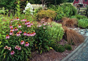 Pink echinacea, white phlox, autumn joy sedum and Bronze Carex