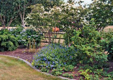 Hydrangeas, hardy geraniums and roses