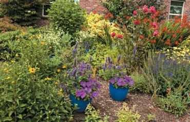 Yellow rudbeckia, pots of petunias, Crocosmia Lucifer and roses tucked here and there