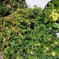 Compact Oregon grape (Mahonia aquifolium 'Compactum')