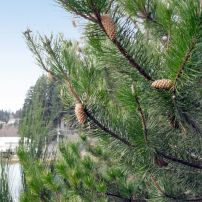 Shore pine (Pinus contorta)