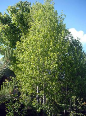 Quaking aspen (Populous tremuloides) often spreads by suckers, forming clonal stands or groves.