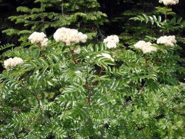 Western mountain ash (Sorbus scopulina)