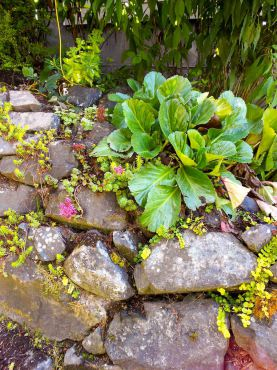 Succulents and bergenia in a rocky wall at the Smarts' garden