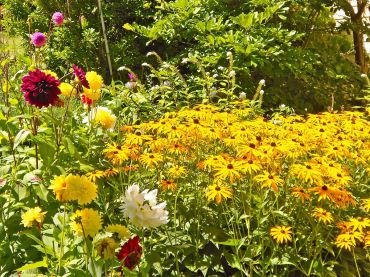 Dahlias and black-eyed susans in the O'Briens' cottage garden