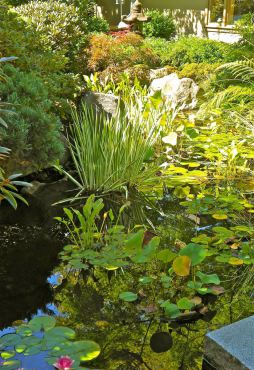 Water lilies in the Peccheninos' pond