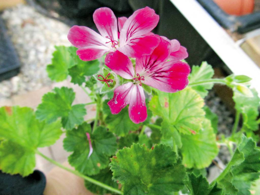 Wshg Net Scented Pelargoniums Featured The Garden June 17