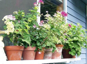 Scented Pelargoniums