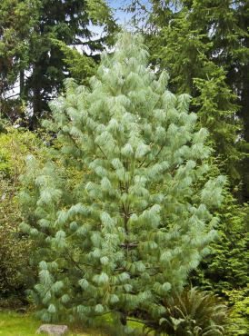 Pinus wallichiana with its silky, pendant needles resembles a pampered pooch.