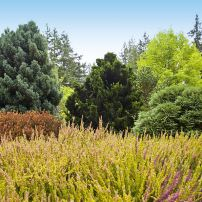 A highly textural combination of different conifers in the background and heathers in the foreground of one of Nancy's display gardens.