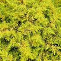 "A fluffy mop of a conifer, Juniperus conferta ""All Gold"" is a low-growing beacon in the garden."