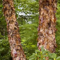 """Heritage"" river birch (Betula nigra ""Heritage"") has pleasing, peeling bark in cinnamon tones."