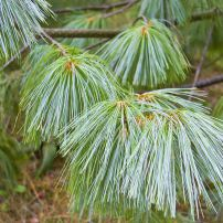 Close up of the foliage of Himalayan pine. Don't you want to pet it?