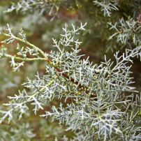"The cordlike, scaly branchlets of Cupressus arizonica ""Blue Ice,"" or blue Arizona cypress."