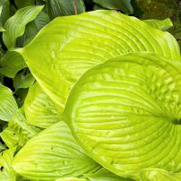 Hosta: bold and crinkled, pleated, shiny, wow!