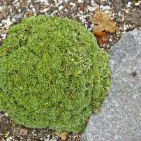 Androsace, also called rock jasmine, forms a tight, dense mound in the rock garden.