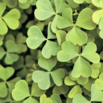 One type of green manure, clover