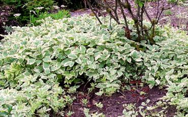Bishops weed: Some gardeners like bishop's weed as a groundcover because of its variegated leaves, but if you're not careful, this plant will take over the garden.