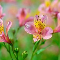 Peruvian lily: The Peruvian lily is a favorite in bouquets but in the garden, this plant becomes a pest.