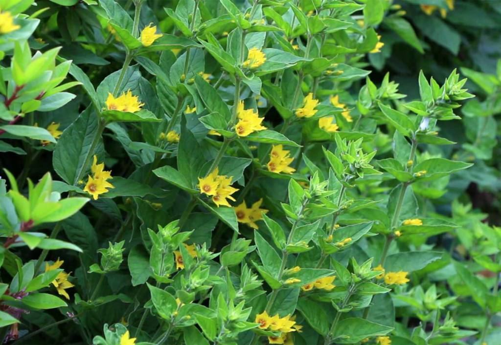 Wshg blog gardening with peg four pesky plants to avoid in yellow loosestrife lysimachia punctata is a cousin of lysimachia vulgaris a noxious weed in washington state that is also known by the common name of mightylinksfo