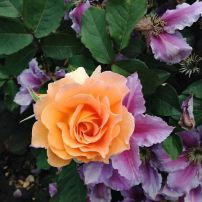 Roses are a nice addition to any perennial garden and are great companions with clematis. Shown is the 'Honey Perfume' floribunda rose with a 'Nelly Moser' clematis.