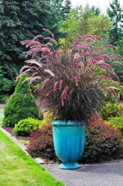"Fountain grass — Pennisetum setaceum ""Rubrum"""