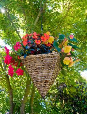 Hanging basket in a maple tree. Basket contains impatiens and begonias.