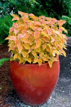 "Red container with Coleus — Solenostemon scutellarioides ""Cathedral Windows"""
