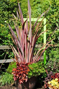 "New Zealand flax — Phormium ""Guardsman,"" Coral bells — Heuchera ""Electra,"" and Succulent — Aeonium ""Blushing Beauty"""