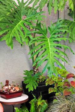 Split leaf Philodendron — Philodendron bipinnatifidum