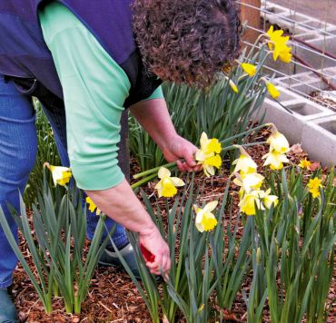 Cathy Tyler cuts daffodils from a patch in front of the cutting garden.
