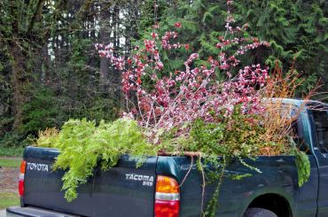 Tyler's pickup loaded with cuttings set aside for her by Bloedel's arborists.