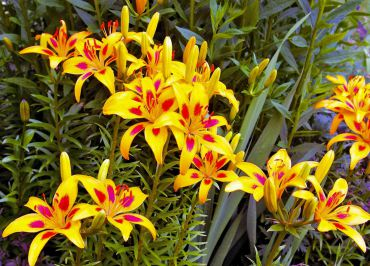 Asiatic lily hybrid started as five individual bulbs and ten years later is four feet wide swath.