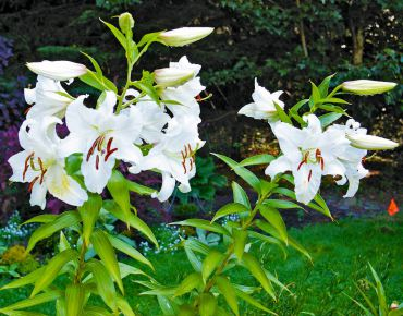 Stand of 'Casa Blanca' Oriental Lilies in August.